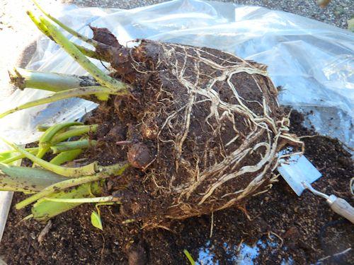 プランター里芋の収穫 鉢から出す