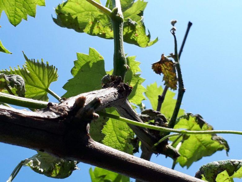 黒とう病のシャインマスカットの枝葉