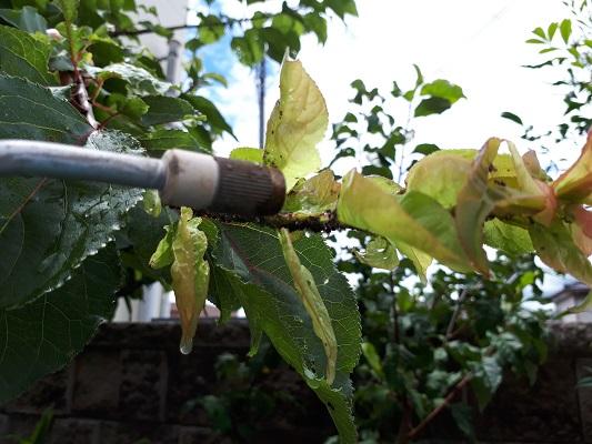 杏の木 消毒の様子