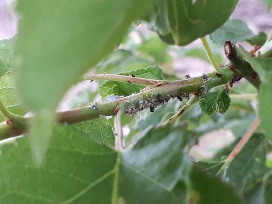 杏の木 使用毒後のアブラムシ