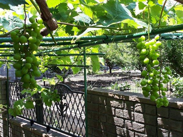 家庭菜園のブドウ棚のシャインマスカット