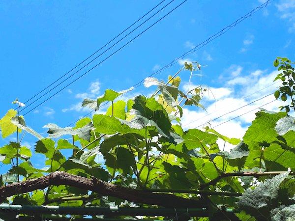 青空に勢いよく伸びるシャインマスカットの枝
