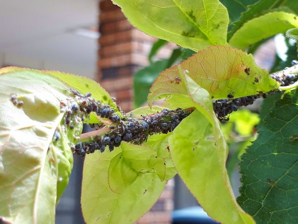 アブラムシが付いた杏の枝