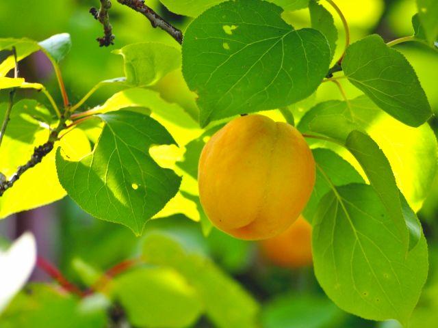 杏の木にあんずがなっている