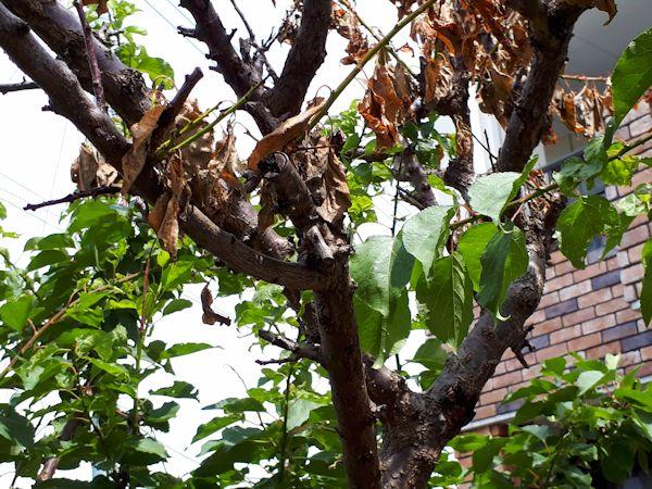 枯れた杏の木