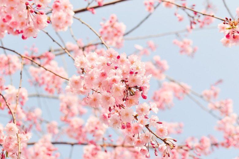 桜の花 友引納車