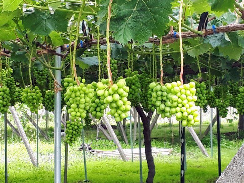 ブドウの摘果作業2