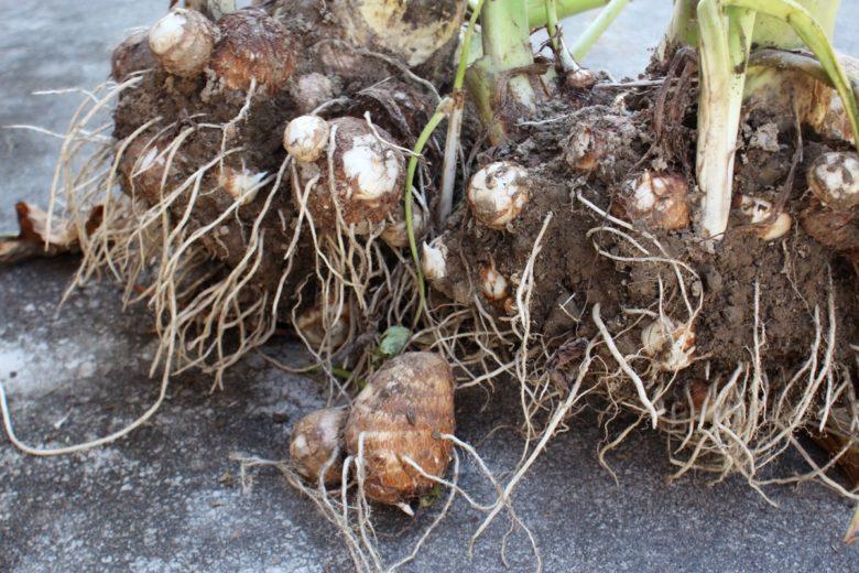 里芋の収穫時期と種イモ保存方法