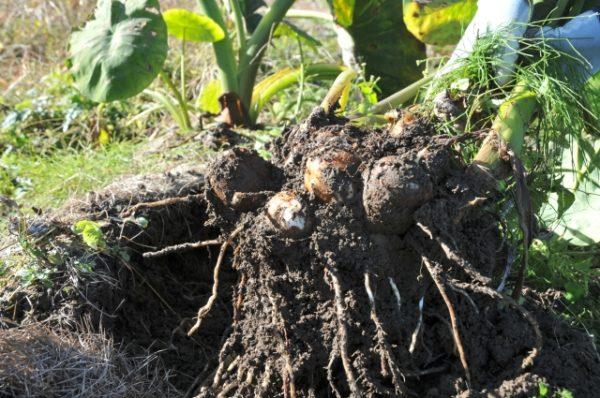 地域別収穫時期 里芋掘り