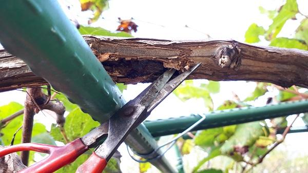 食害された木を削る