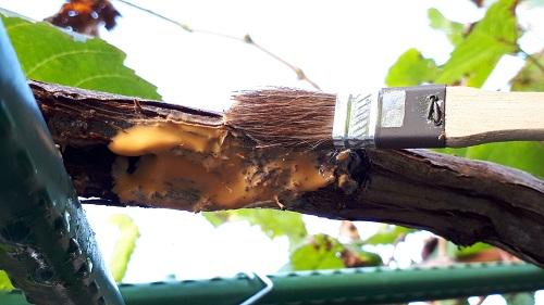 トップジンMを被害枝に塗る