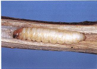 ブドウスカシバ幼虫