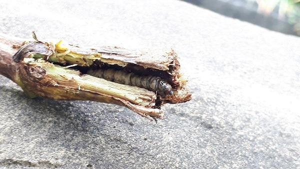 枝の割れ目から見えている虫の頭