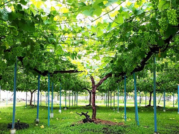 ブドウスカシバとブドウの木