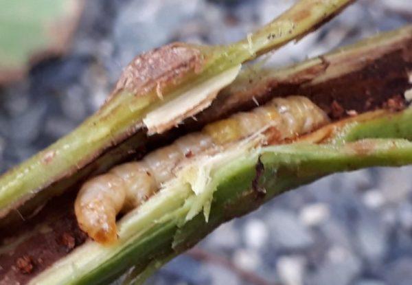 ブドウトラカミキリの幼虫