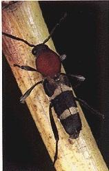 ブドウトラカミキリ成虫