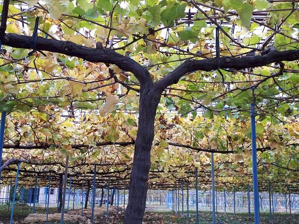 秋のブドウ園
